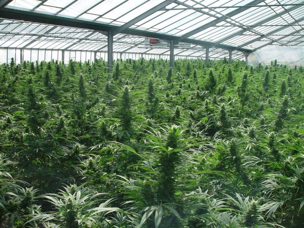 Cultivar marihuana milton flores